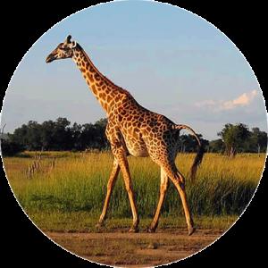 giraffe-comp-round
